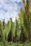 пальма nipah листьев Стоковая Фотография