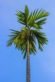 Пальма Pinang Стоковые Изображения RF
