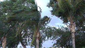 Пальмы дуя в ветре во время большого шторма сток-видео