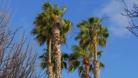 Пальмы на ветреный день сток-видео