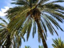 Пальмы против голубого неба, пальмы на тропической кокосовой пальме побережья, дереве лета Стоковые Фотографии RF