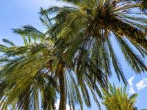 Пальмы против голубого неба, пальмы на тропической кокосовой пальме побережья, дереве лета Стоковая Фотография