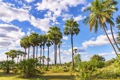 Пальмы сахара в сельской местности, Камбодже Стоковое Изображение RF