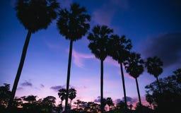 Пальмы сахара силуэта с twilight небом Стоковые Фото