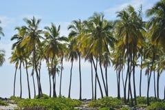 Пальмы Kona Гаваи Стоковая Фотография