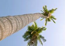 пальмы nucifera cocos кокоса стоковая фотография rf