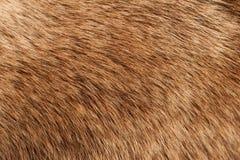 Пальто лосей Стоковое Изображение RF