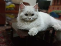 Пальто персидского кота тройное стоковое фото