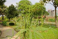 Пальцы ` бамии или дам, цветковое растение в семье просвирника стоковое фото