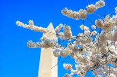 Памятник Вашингтона во время фестиваля вишневого цвета Стоковая Фотография RF