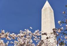 Памятник Вашингтона и вишневые деревья в цветени Стоковое фото RF