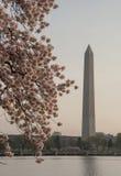 Памятник Вашингтона и вишневые цвета Стоковые Фотографии RF