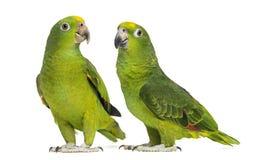 Панама Амазонка и Желт-увенчанная Амазонка Стоковые Фотографии RF