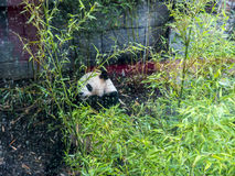Панда в зоологических садах и аквариум в Берлине Германии Зоопарк Берлина посещать зоопарк в Европе, Стоковые Фото