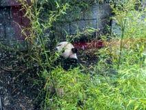 Панда в зоологических садах и аквариум в Берлине Германии Зоопарк Берлина посещать зоопарк в Европе, Стоковое Фото