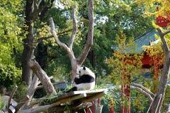 Панда в зоопарке Берлина стоковая фотография rf