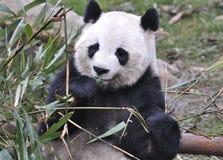 Панда в Китае Стоковая Фотография