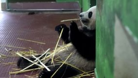 Панда есть бамбуковые черенок E Пушистое усаживание гигантской панды держит бамбуковые черенок с его лапками и жует их r сток-видео