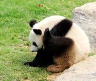 Панда; кот медведя; bearcat стоковое изображение rf