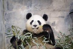 панда медведя гигантская Стоковые Изображения RF