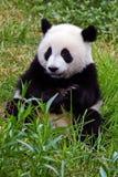 панда медведя гигантская Стоковое Изображение RF