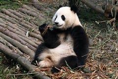 панда медведя гигантская Стоковое Изображение
