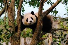 панда медведя гигантская Стоковая Фотография RF