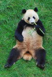 панда угрожаемая животным Стоковое фото RF