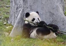 панда фарфора chengdu стоковые фотографии rf