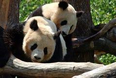 панда Стоковое Фото