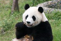 панда Стоковая Фотография RF