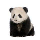 панда 6 месяцев melanoleuca ailuropoda гигантская Стоковые Изображения