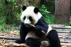 панда Стоковая Фотография