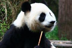 панда Стоковое фото RF