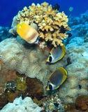 панда butterflyfish Стоковая Фотография RF