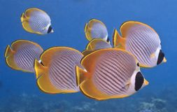 панда butterflyfish Стоковое Фото