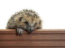 панель hedgehog деревянная стоковые изображения