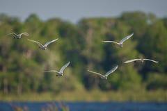 Паническое бегство egrets скотин в полете Стоковое Фото
