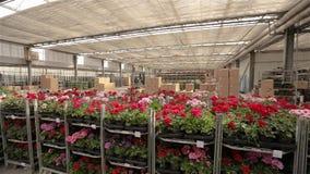 Панорама большого склада с зацветая цветками, потока операций в складе большого современного парника видеоматериал