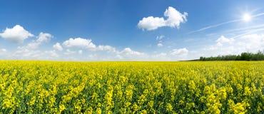 Панорама - большое зацветая поле рапса Стоковое Фото