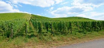 Панорама виноградника Стоковое Изображение RF