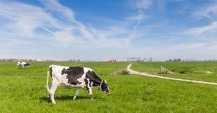 Панорама голландской коровы Гольштейна и пути велосипеда Стоковые Изображения RF