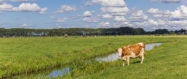 Панорама голландской красной и белой коровы в groningen Стоковое Фото