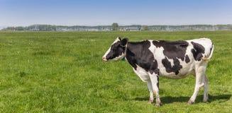 Панорама голландской черно-белой коровы Гольштейна Стоковые Изображения