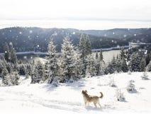 Панорама леса зимы с деревьями покрыла снег Стоковое Фото