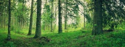 Панорама леса сосны и ели Стоковые Фото