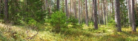 Панорама леса стоковая фотография