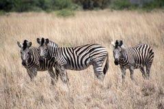 Панорама зебры с очень больше слов только для вашей просьбы стоковое изображение rf