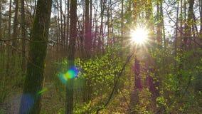 Панорама леса весны видеоматериал