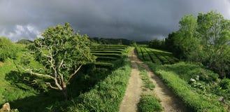 Панорама Мигель Азорских островов Sao плантаций чая стоковые изображения